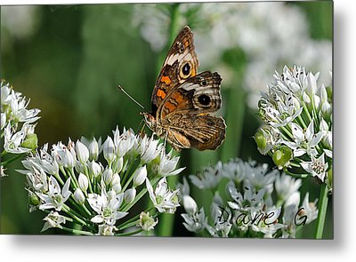 Common Buckeye Butterfly Metal Print by Diane Giurco