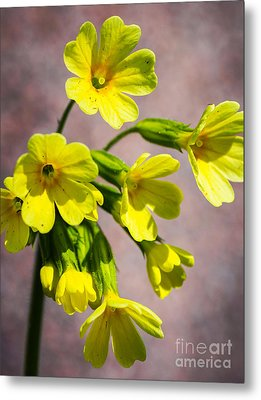 Common Cowslip In The Morning Sunlight Metal Print