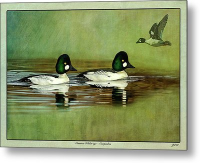 Common Golden-eye Drakes With Flyer Metal Print by John Williams