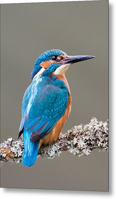 Metal Print featuring the photograph Common Kingfisher 2 by Phil Stone