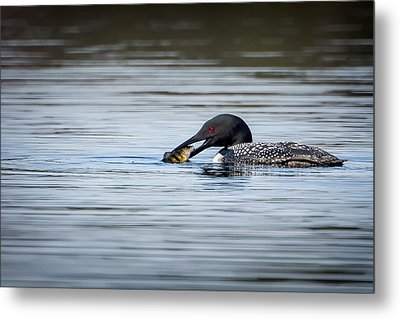 Common Loon Metal Print by Bill Wakeley
