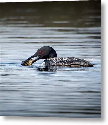 Common Loon Square Metal Print by Bill Wakeley
