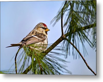 Metal Print featuring the photograph Common Redpoll Bird by Christina Rollo