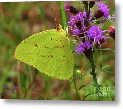 Metal Print featuring the photograph Common Sulphur Butterfly by Donna Brown
