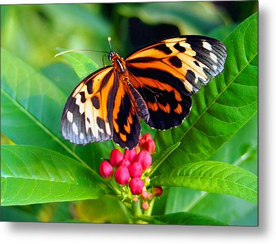 Common Tiger Glassywing Butterfly Metal Print