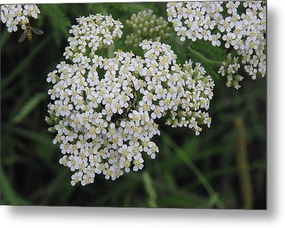 Common Yarrow Closeup Metal Print by Robyn Stacey