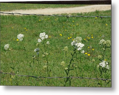 Common Yarrow Metal Print by Robyn Stacey