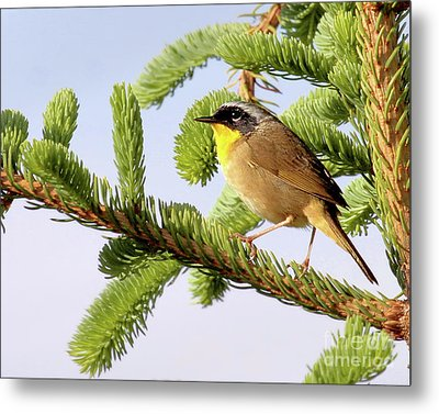 Common Yellow-throat Metal Print by Debbie Stahre