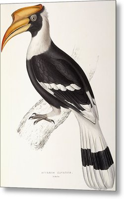 Concave Hornbill Metal Print by John Gould