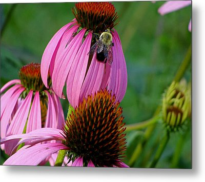 Cone Flower  Bumble Bee Macro Metal Print by Martin Morehead