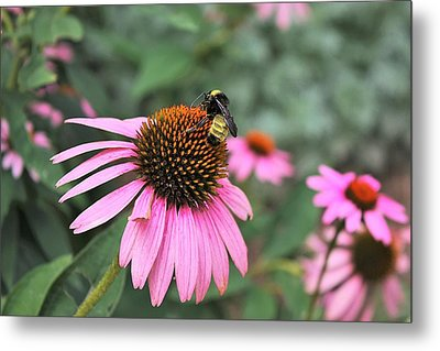 Metal Print featuring the photograph Cone Flowers And Bee by Sheila Brown