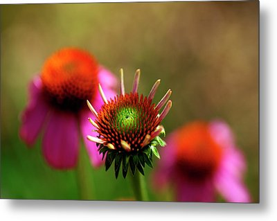 Cone Flowers Metal Print by Bill Morgenstern
