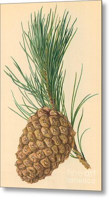 Cone Of Stone Pine Metal Print by William Henry James Boot
