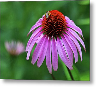 Metal Print featuring the photograph Coneflower by Judy Vincent
