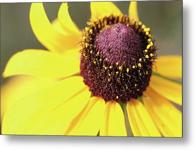 Coneflower Metal Print by Paul Drewry