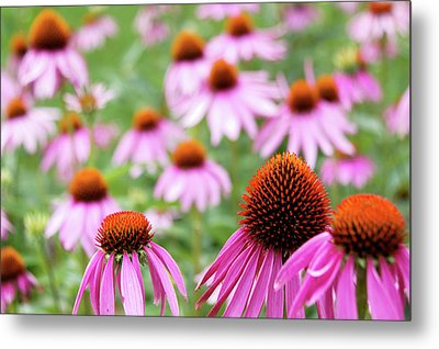 Coneflowers Metal Print by David Chandler