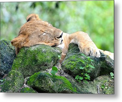 Contented Sleeping Lion Metal Print by Richard Bryce and Family