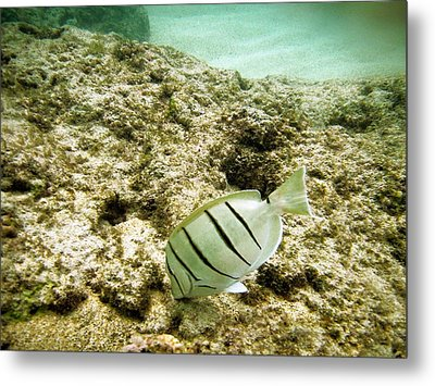 Convict Tang Metal Print by Michael Peychich