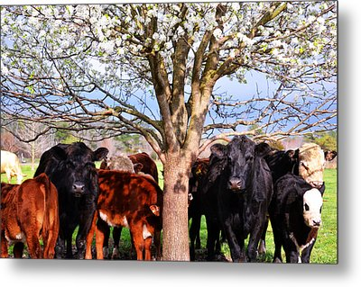 Cool Cows Metal Print by Kelly Reber