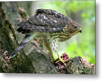 Metal Print featuring the photograph Coopers Hawk by Timothy McIntyre