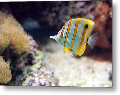 Metal Print featuring the photograph Copper-banded Butterfly Fish by Kathleen Stephens