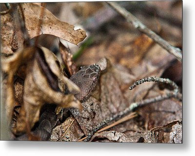 Copperhead 3 Metal Print by Douglas Barnett