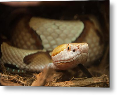 Metal Print featuring the digital art Copperhead by Chris Flees