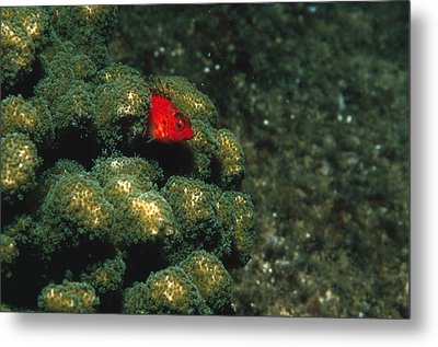 Coral Hawkfish Hiding In Coral Metal Print by James Forte