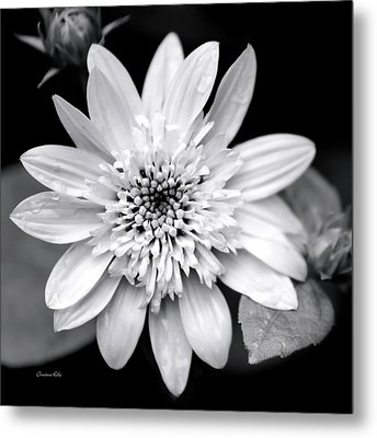 Metal Print featuring the photograph Coreopsis Flower Black And White by Christina Rollo