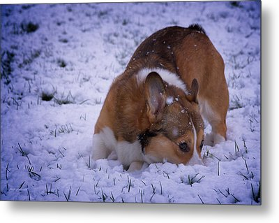 Corgi Nose Plant In Snow Metal Print by Mick Anderson