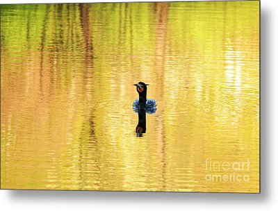 Double Crested Cormorant With Crazy Hair Metal Print by Charline Xia