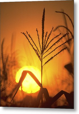 Cornfield Sunset Metal Print by Garry McMichael