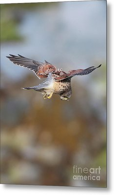 Metal Print featuring the photograph Cornish Kestrel Hunting 2 by Nicholas Burningham