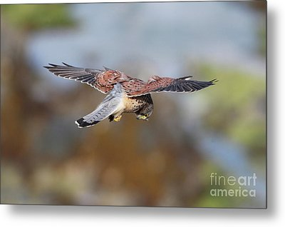 Metal Print featuring the photograph Cornish Kestrel Hunting by Nicholas Burningham