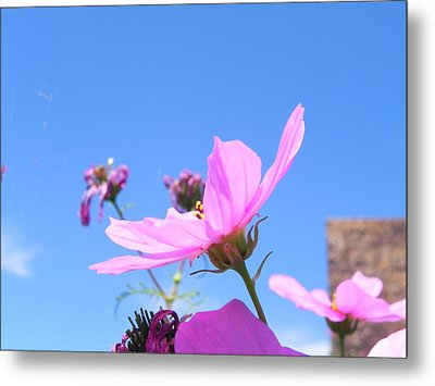 Cosmos Metal Print by Adrienne Petterson