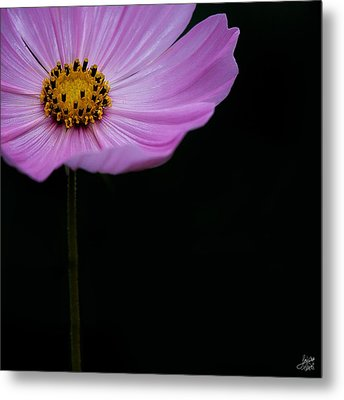 Metal Print featuring the photograph Cosmos On Black by Lisa Knechtel