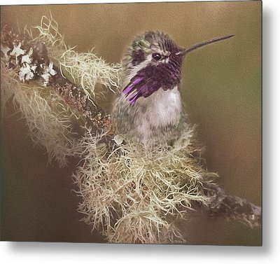 Costas Hummingbird Painted Metal Print