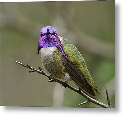 Costa's Hummingbird, Solano County California Metal Print by Doug Herr