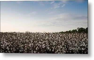 Cotton Field 2 Metal Print by Andrea Anderegg