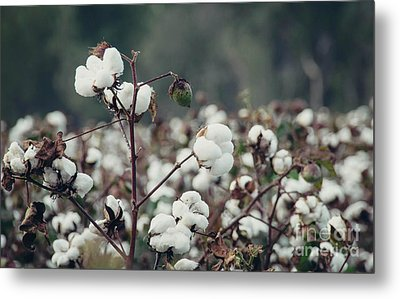 Cotton Field 5 Metal Print by Andrea Anderegg