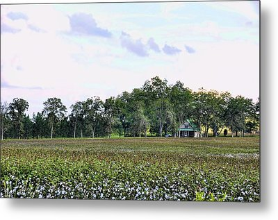 Metal Print featuring the photograph Cotton Field In Georgia by Jan Amiss Photography
