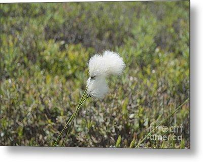 Cotton Grass -eriophorum Virginicum- Metal Print by Erin Paul Donovan