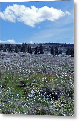 Cotton Grass Moor Metal Print