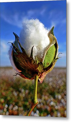 Metal Print featuring the photograph Cotton Pickin' by Skip Hunt