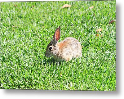 Cotton Tail Metal Print by Shoal Hollingsworth