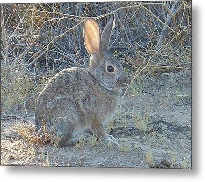 Cottontail Rabbit Morning Light Metal Print