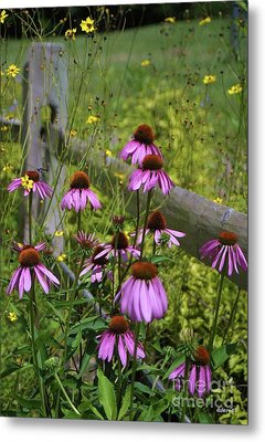 Country Coneflowers Metal Print by Dodie Ulery