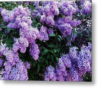 Country Lane Lilacs 2 Metal Print