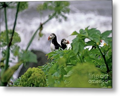Couple Of Puffins Perched On A Rock Metal Print by Sami Sarkis