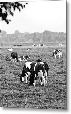 Cow 188 Metal Print by Edward Myers